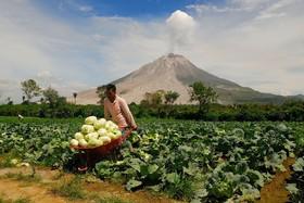 یک کشاورز  در سوماترای اندونزی در کنار کوه آتش فشان سینابانگ در حال برداشت محصول