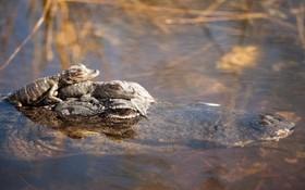 سوسمار و بچه هایش در پارک ملی فلوریدا
