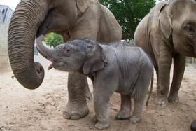 فیل یک روزه در باغ وحشی در المان