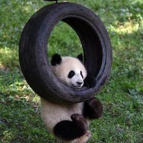 پاندا در حال بازی باغ وحش