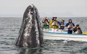 دیده شدن یک نهنگ در سواحل باجا در مکزک هنگام عبور یک قایق جهانگردان
