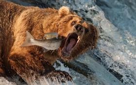 خرس قهوه ای در آلاسکا در حال شکارماهی