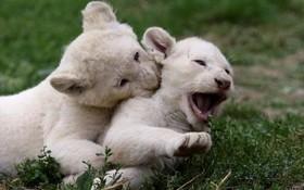شیرهای سفید تازه متولد شده در جمهوری چک