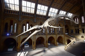 اسکلت یک نهنگ آبی در موزه تاریخ طبیعی در انگلیس