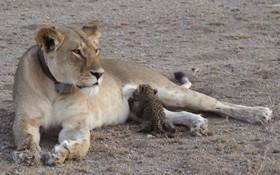 در یک رویداد نادر به بچه پلنگ از یک شیر در پارک حیات وحشی در تانزانیا شیر می خورد