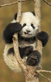 خرس پاندا در باغ وحشی در چین روی درختی گرفتار شده است