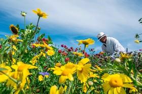 کشاورز پرورش دهنده گل در مادلین کلمبیا شهر جرم خیز و مرز سابق قاچاق این کشور