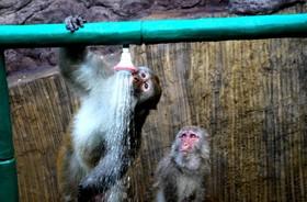 میمون ها در باغ وحشی در چین در حال بازی با آب در گرمای تابستان