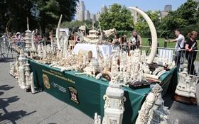 منهدم کردن صد ها تن محصولات ساخته شده از عاج فیل در نیویورک آمریکا برای حمایت از فیل ها و جلوگیری از کشتار آن ها