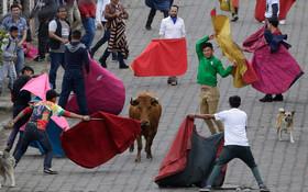 هفته مسابقات گاوبازی در اکوادور و رهاسازی گاو ها در خیابان