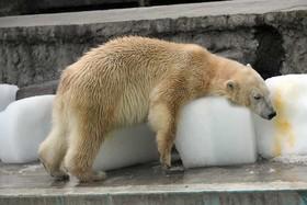خرس قطبی در باغ وحشی در بوداپست مجارستان در حال خنک کردن خود با یخ