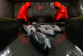 کارخانه فراوری ماهی سالمون در روسیه