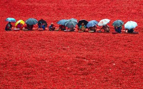 زنان هندی در حال آماده کردن فلفل های قرمز برای تولید و صدور به جهان
