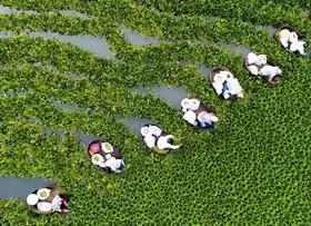 کشاورزان در چین شاه بلوط آبی جمع آوری می کنند