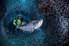 صحنه ای بی نظیر از غواصی در میان ماهی های طلایی در ساحل جزیره کی من که هر سال یک بار رخ می دهد