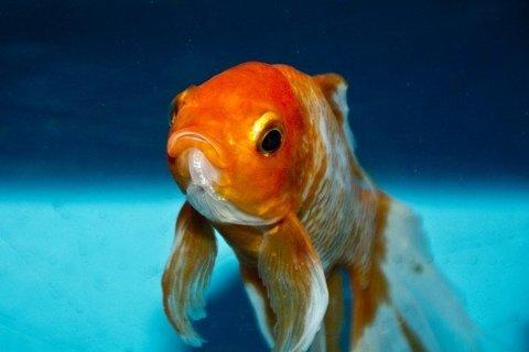 ماهیهای قرمز الکل تولید میکنند