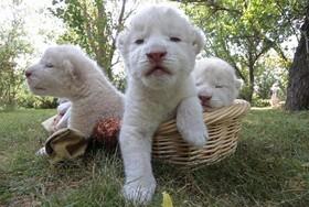 شیرهای نوزاد سفید در پارک حیات وحشی در اکراین