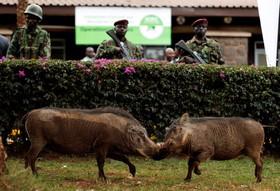 مرکز نظارت برانتخابات در نایروبی کنیا پس از اعلام نتایج انتخابات و درگیری دو خوک در کنار این مرکز
