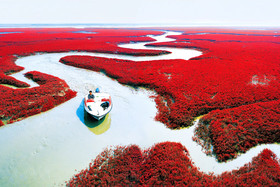 ساحل قرمز در پنجین چین، ساحلی پوشیده از جلبک های قرمز+تصویر