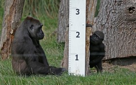 گوریل ها در باغ وحش لندن در کنار یک خط کش برای اندازه گیری قد