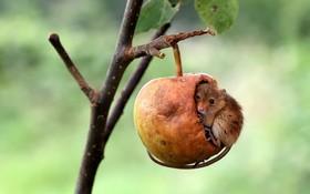 لانه کردن موشی در سیب نیمه خورده