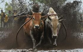 مسابقه گاو دوانی در زمین های کشاورزی در اندونزی