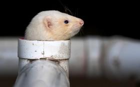 موش خرمای در حال تمرین برای نمایش در ملبورن استرالیا