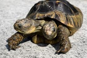 لاکپشت دوسر در موزه طبیعی در بیستمین سال تولدش در سوئیس