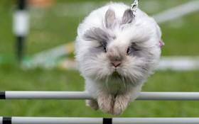 رقابت های پرش خرگوش های دست آموز در آلمان