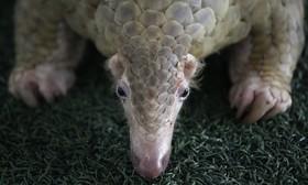 کشف 136 پانگولین موجود در حال انقراض در گمرک بانکوک