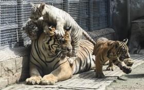 ببربنگال در کنار چند توله اش در باغ وحشی در چین
