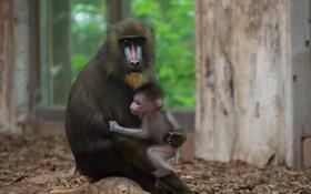بجه میمون در آغوش مادرش در باغ وحشی در آلمان