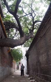 جیا فولین مرد 96 ساله چینی و درختی که در آشپزخانه خانه اش رشد کرده و او از ان نگهداری کرده است در استان هوبی در این کشور قراردارد و گفته می شود که این درخت حداقل 300 سال عمر دارد
