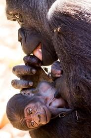 گوریل و بچه اش در باغ وحشی در سیدنی استرالیا
