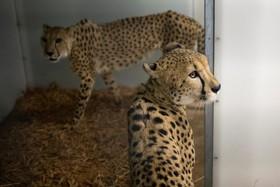 یوزپلنگ های باغ وحش فلوریدا در پناهگاه