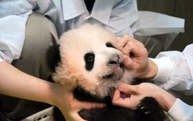 بررسی سلامتی پاندای تازه متولد شده در باغ وحشی در ژاپن