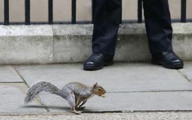 سنجابی با بادام زمینی در دهان از مقابل پلیس مستقر مقابل دفتر نخست وزیر انگلیس می گذرد