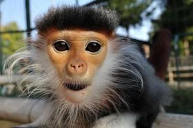 میمونی در باغ وحشی در جمهوری چک