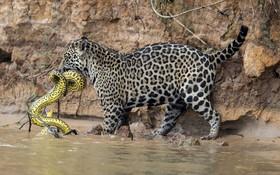 پلنگی در برزیل مار آناکوندا را شکار کرده