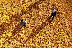 خشک کردن ذرت در چین