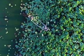 جمع آوری دانه های نیلوفر آب در چین