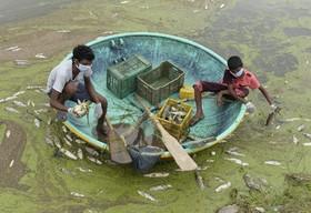 جمع آوری ماهی های مرده از آلودگی آب در دریاچه گاندی حیدرآباد هند
