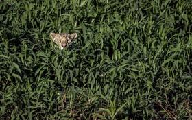 یوزپلنگی در میان علفزار در برزیل