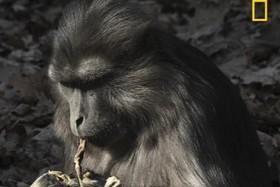 میمون عزادار جنازه بچه اش را خورد +عکس