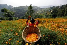 برداشت گل در کاتماندو در نپال برای مراسم مذهبی