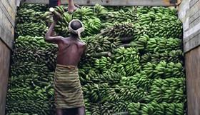 برداشت موز در هند