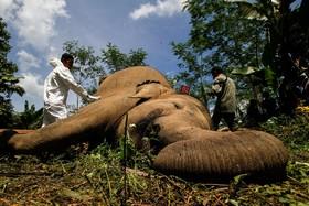 بررسی جسد یک فیل سوماترایی که به دلیل برق گرفتگی مرده است توسط ماموران در آچه اندونزی