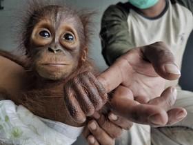 توله اورانگوتان که به دلیل جنگل زدایی و شکار غیرقانونی در منطقه کالیمانتان در اندونزی تحت کترل حفاظت می شود