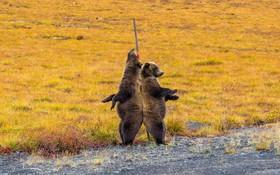 دو خرس گریزلی در پارک تامبسون در کانادا در حال خاراندن پشتشان هستند