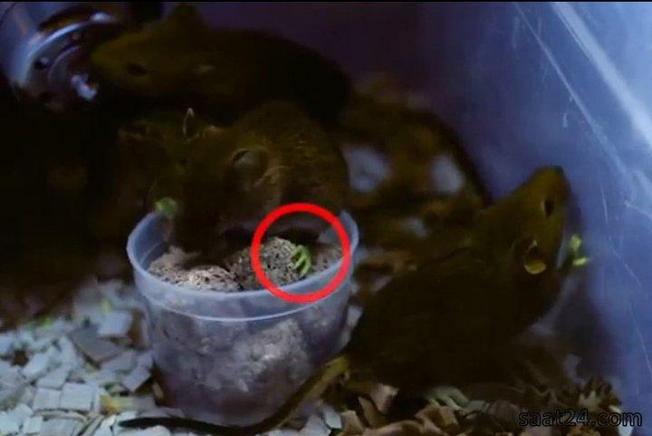 موش هایی با دست و پای شب تاب